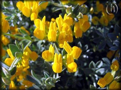 Carloforte e san pietro la flora la for Orchidea foglie gialle