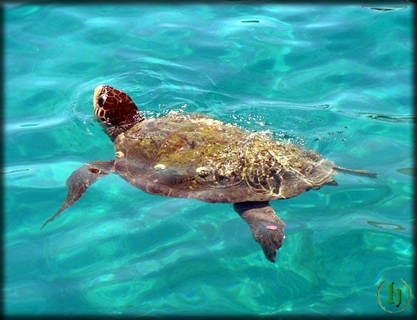Carloforte e san pietro la tartaruga di mare for Tartarughe di mare domestiche